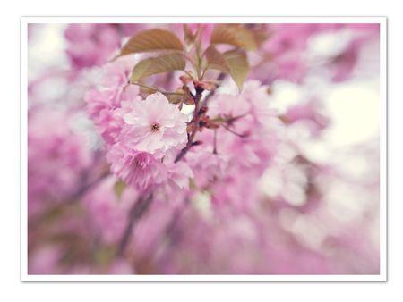 Cherry blossoms blog