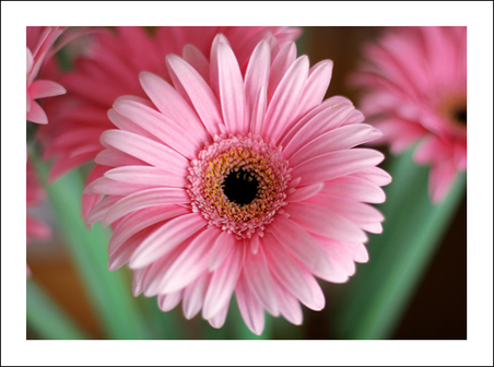 Gerbera_daisy_1_color_wow_for_web